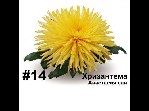 Хризантема (анастасия сан), из фоамирана, Лариса Аптриева, МыловароФФ, Ошибки ручной работы - YouTube