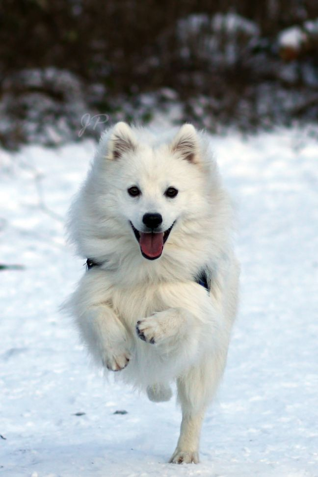 japanese spitz                                                                                                                                                                                 More