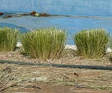 tips for pruning fountain grass.