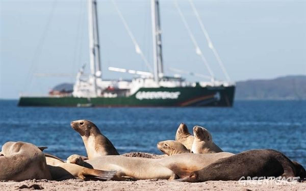 Rare native NZ sea lions on the beach at Sandy Bay, Enderby Island with the Rainbow Warrior at anchor in the background. (C) GREENPEACE / HANSFORD http://act.gp/11eMnAm