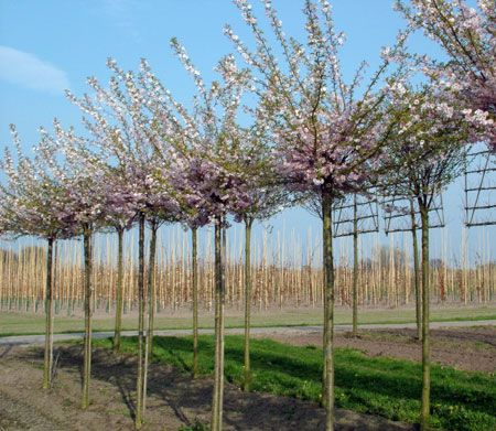 prunus subhirtella 39 autumnalis rosea 39 bloeit van november tot april als het niet vriest. Black Bedroom Furniture Sets. Home Design Ideas