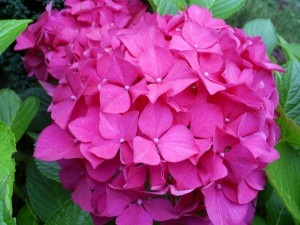 pink-hydrangea. Mine is lilac color. Cool tips on how to propergate this plant for friends and family