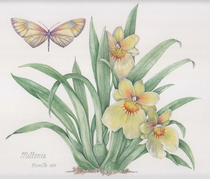 Yellow Miltonia Orchid, watercolor by Mireille Belajonas, 2014