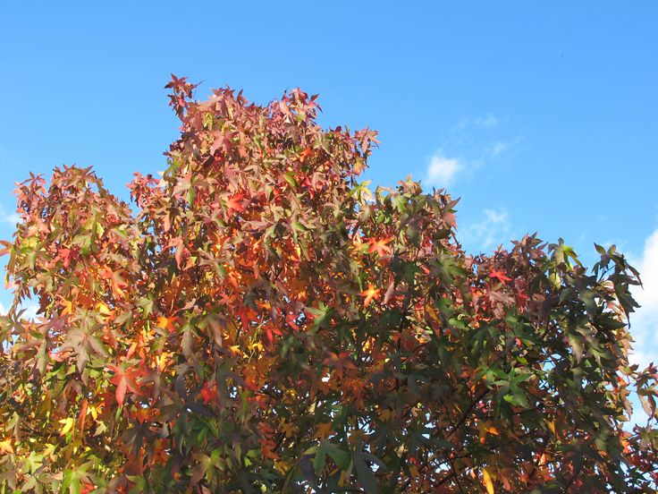 Unmissable beauty of Liquidamber - if you have space, plant one. You will not regret it!