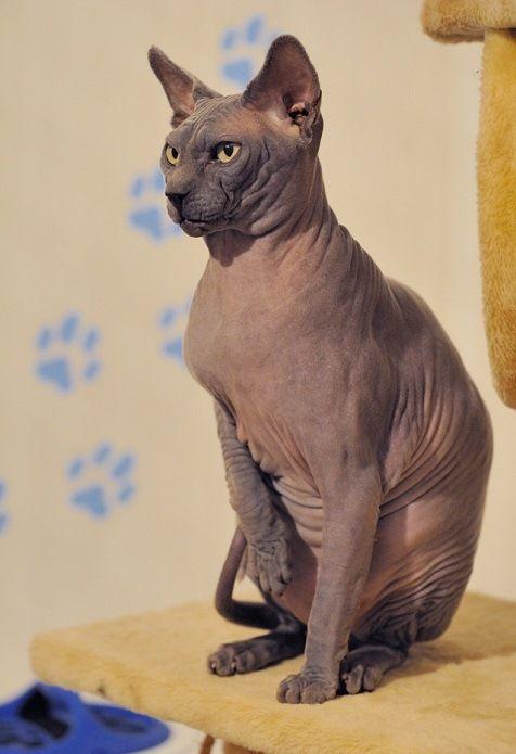 Важный кот породы канадский сфинкс. Красивое фото