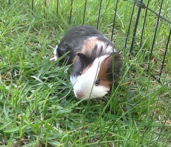 Little Miss Chewie. Born approx mid feb 2015