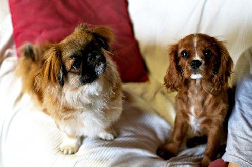 #holly #amelia #pechinese #cavalier #cuccioli di #cane
