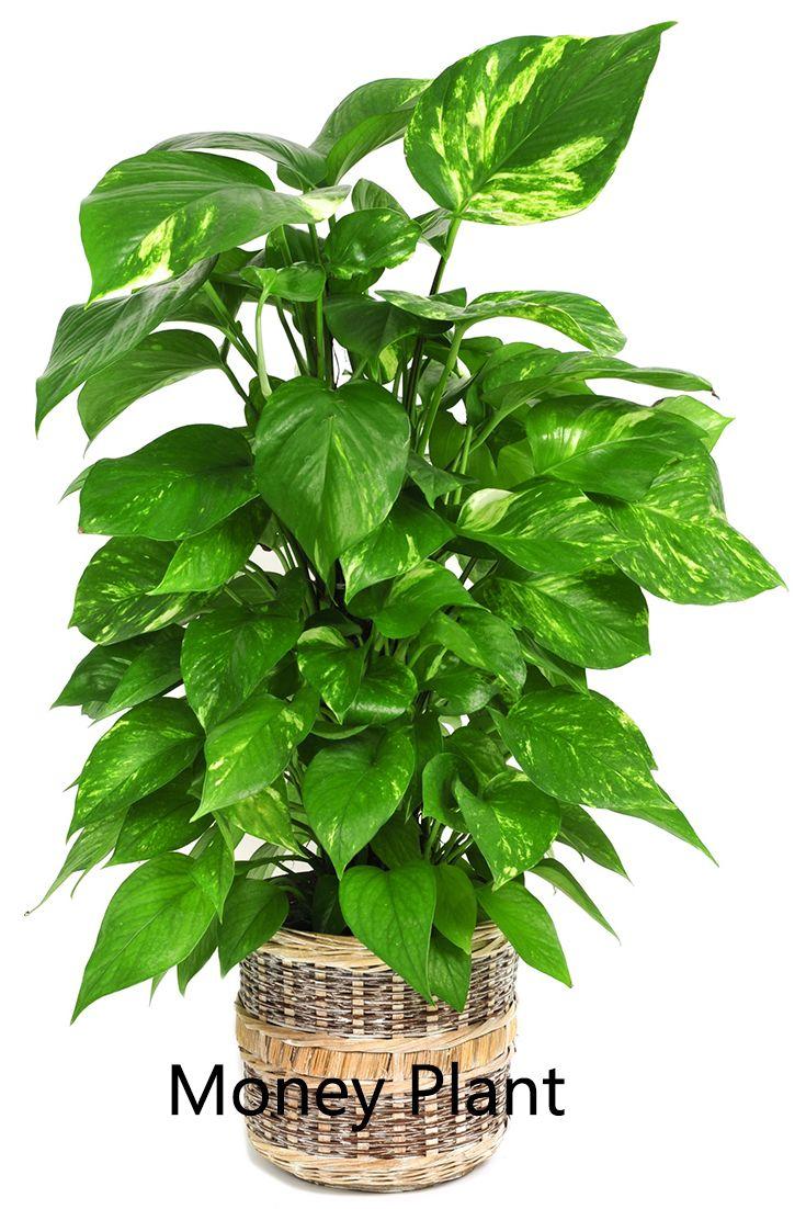 Best 25+ Money plant ideas on Pinterest | Planters garden ...