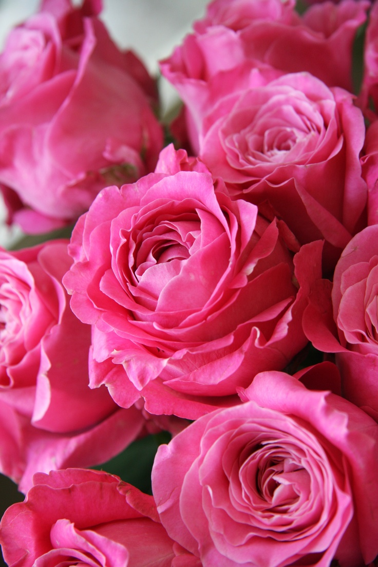 Love Garden Roses: 9 Best Images About Spray Rose On Pinterest
