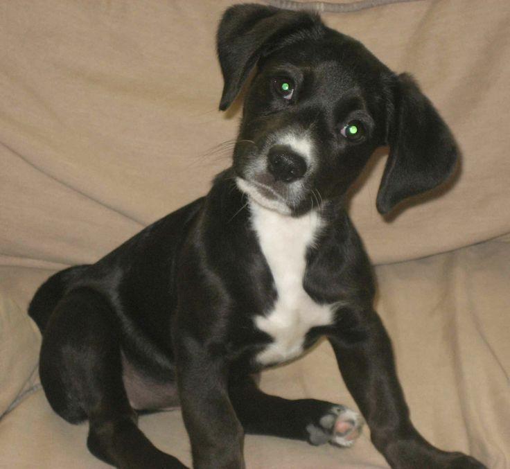 Black Boxer German Shepherd Mix Puppies