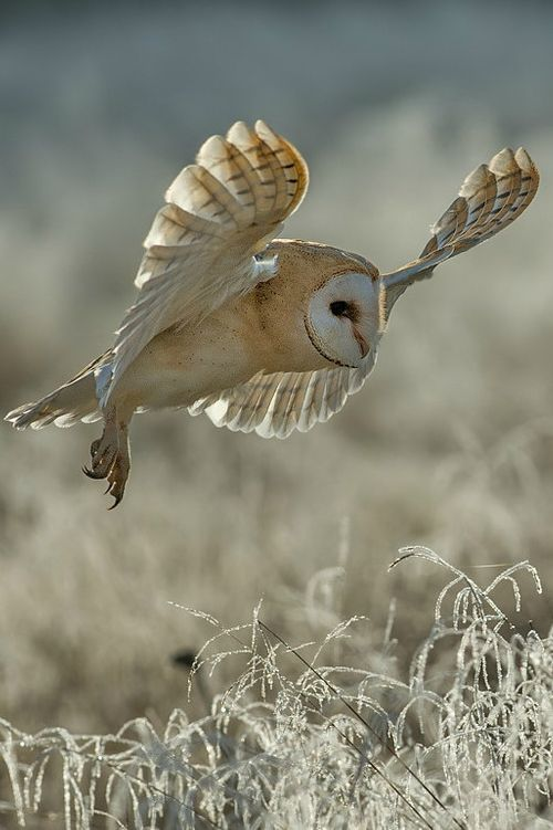 Divination and Oracles ☽ Navigating the Mystery ☽ barn owl. vision.