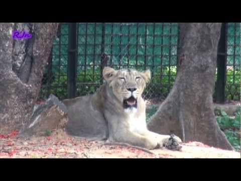 The Magnificent #Mysore_Zoo - The zoo covered an area of 245 acre land and it was known as the Sri Chamarajendra Zoological Gardens. The zoo was one of the oldest zoos of Southern India and was a home for a wide range of species. It was established in 1892, which made it one of the most popular zoos in those times. The Mysore zoo had been a success ever since it was opened for the public in the year of 1902.