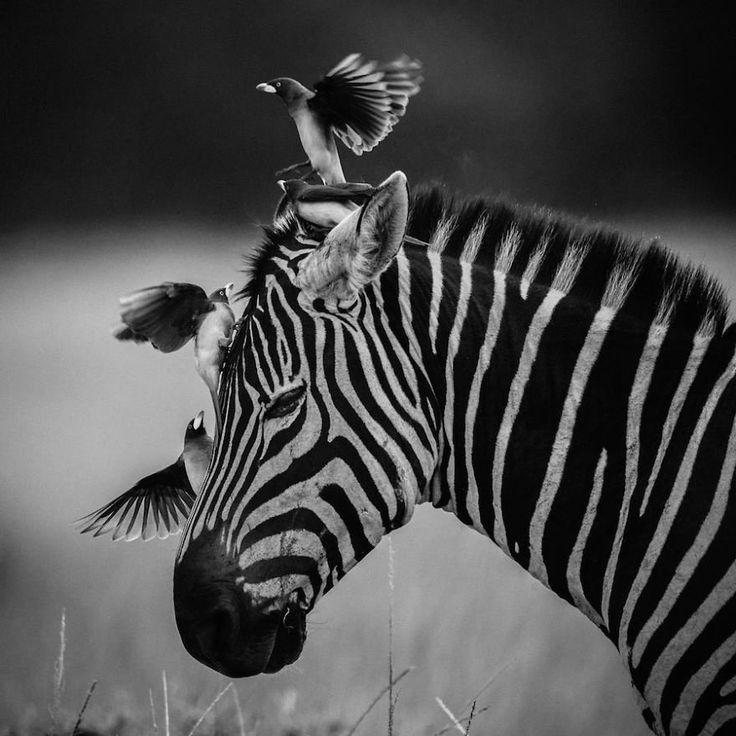 Complicité, zèbre et oiseaux, Kenya 2004