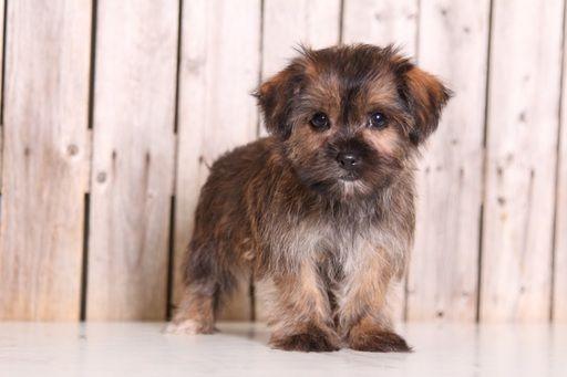 Shorkie Tzu puppy for sale in MOUNT VERNON, OH. ADN-48848 on PuppyFinder.com Gender: Female. Age: 9 Weeks Old