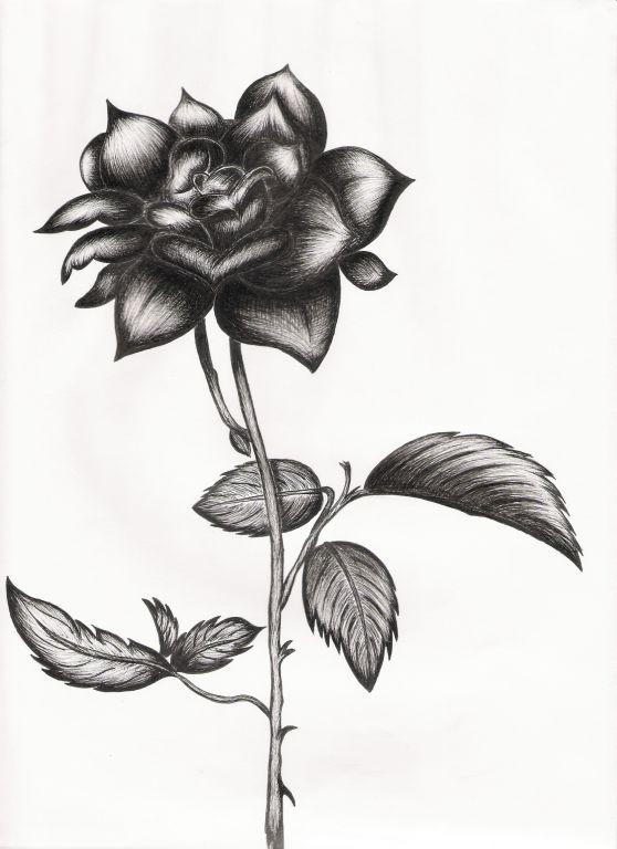 dibujo rosa negra - Buscar con Google | Dibujo | Pinterest