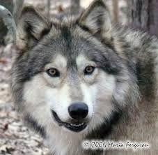 illustrations wolves