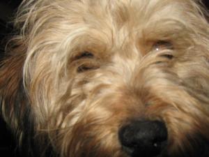 Adopt Mr. on Petfinder | Terrier poodle mix, Poodle mix ...