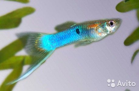 endler guppy japan blue   by tnhieutruc
