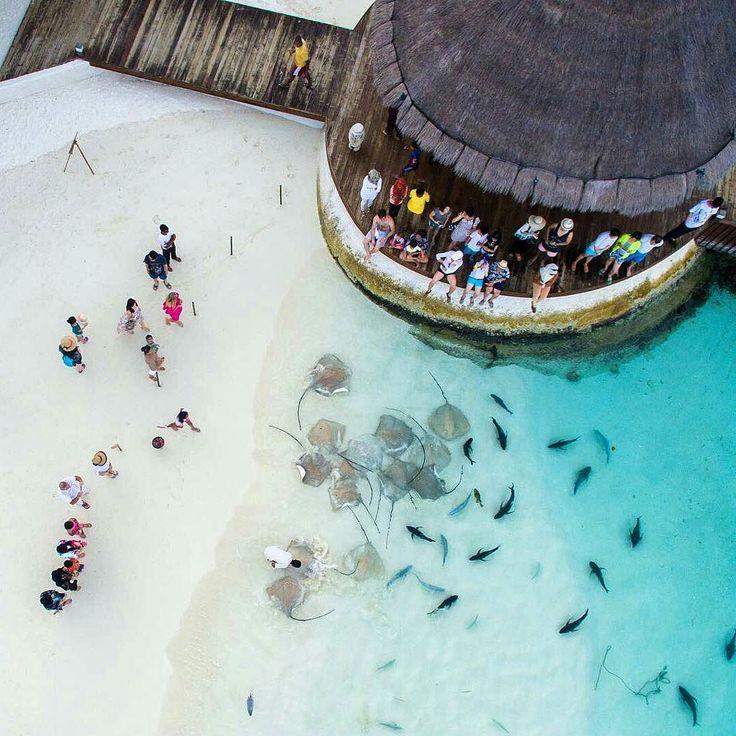 from @dimabalakirev -  На ежедневную кормёжку скаты и рыбы приплывают точно по расписанию! Даже важная цапля прилетела чтобы отхватить свою порцию ужина. Забавно #dji #djiinspire1 #sunnysideoflife #maldivesislands #Мальдивы #бикини #остров #отпуск #курорт #каникулы #рай #moda #stile #voga #paraíso #paraiso #paradis #plage #мода #stingray #ray #beach by sunkissedstyle