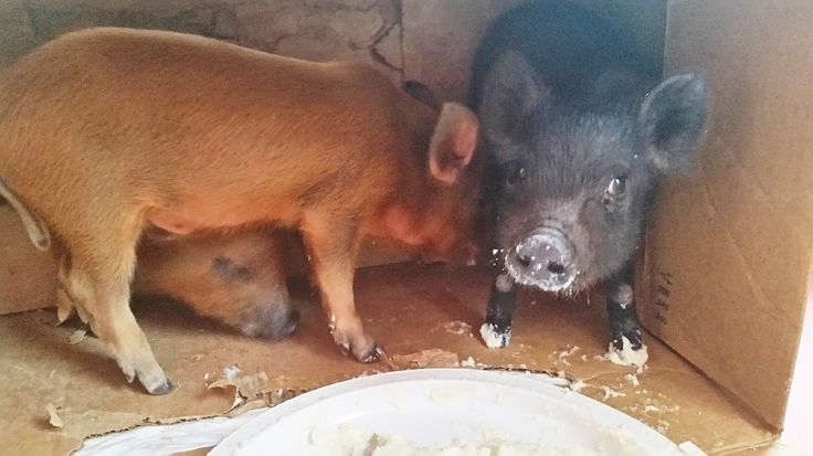 Baby Pigs For Sale Online Could Have Been Used As Dogfighting Bait