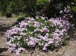 Image result for pandorea jasminoides