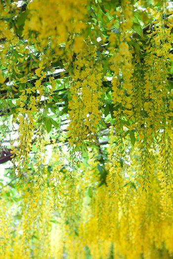 sunny cascading yellow flowers