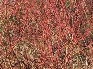 Дерен кроваво-красныйКизил блестящий (Cornus sericea) (синонимы Кизил отпрысковый (Cornus stolonifera); Свидина отпрысковая (Swida stolonifera); англ. Red Osier Dogwood). Северная часть Северной Америки.