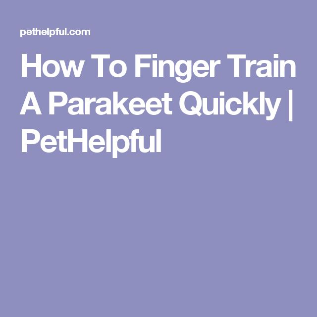 How To Finger Train A Parakeet Quickly   PetHelpful