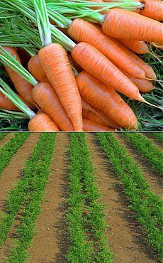 Посадка моркови без прореживания - попробуй! .