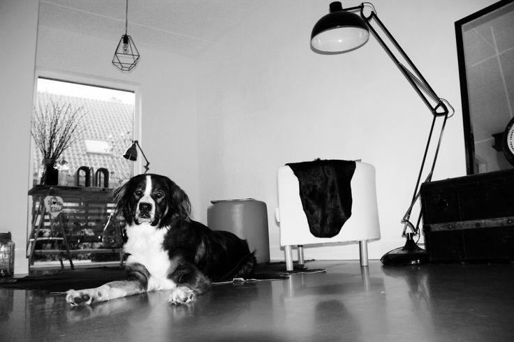 home sweet home #koningbinc #dog #dogmodel #interior #lovemydog #homesweethome #cute #dogs #animal #home #BernerSennen