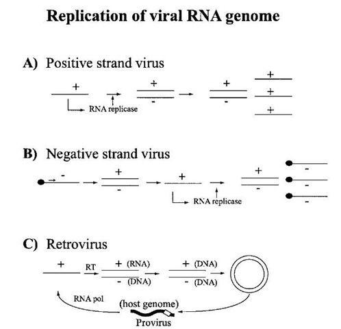 Replicación del genoma de Virus ARN