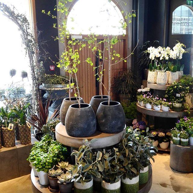 Nye planter #ginko #tempeltre #kalanchoe #grå #grønn #potter ...