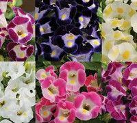 Kauai Series Torenia - (Torenia fournieri <a href='/Plants/2586/Annual-Plants/Kauai-Series.html'>'Kauai Series'</a>) - Annual Plants