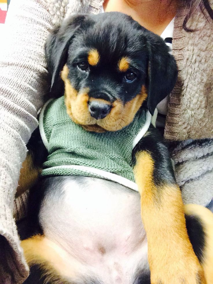 mila, baby rottweiler, 10 weeks... doesn't she melt your heart?!