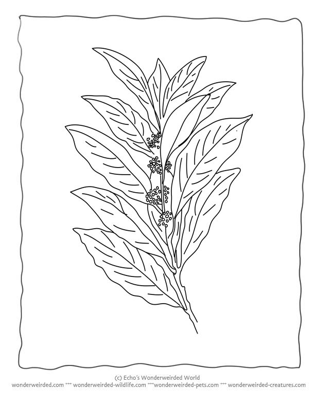 Bay Leaf Coloring Page Wonderweirded Wildlife From Out Free