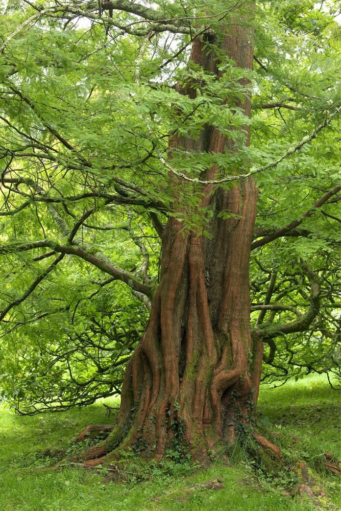 Urweltmammutbaum Metasequoia glytrostroboides