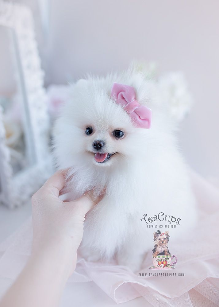 Puppy For Sale 105 Teacup Puppies White Pomeranian White