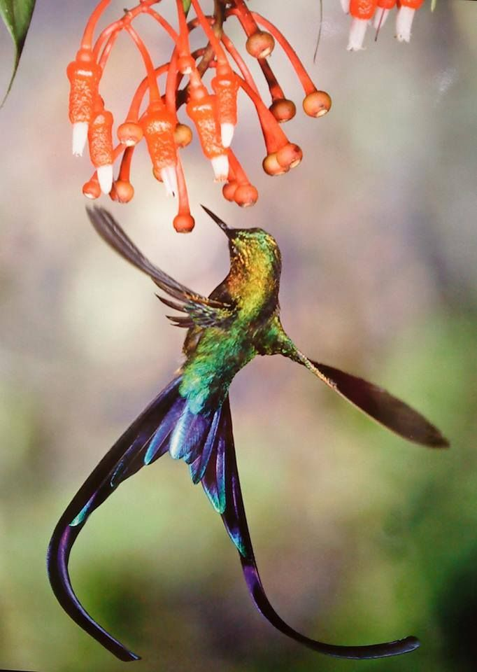 Violet Tailed Sylph (Aglaiocercus Coelestis) Hummingbird, Heath  (Ericaceae), Andes, Ecuador By Michael And Patricia Fogden/Minden Pictures