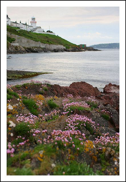 Wild flora n lighthouse at Roches Point, County East Cork_ Ireland