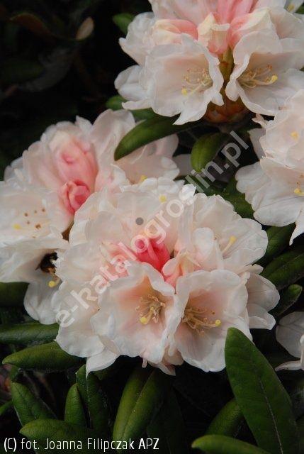 różanecznik 'Edelweiss'  wys. 0.9 m, szer. 1.2 m  Z - 5b