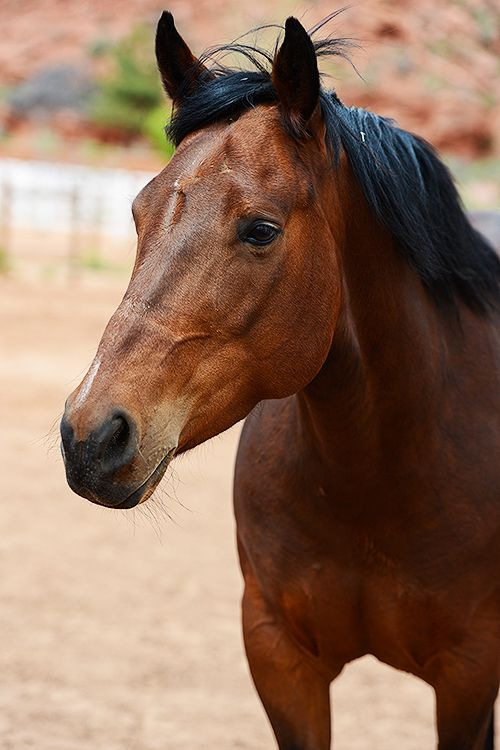 Quarterhorse named Laura is available for adoption at Best Friends Sanctuary in Kanab, Utah | Best Friends Animal Society