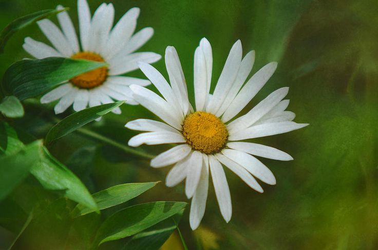 Two Of Us. A Day For Daisies by Jenny Rainbow   This  artwork available as framed, metal, acrylic prints, in art products for home decor and greeting cards  #JennyRainbowFineArtPhotography  #WallArt #HomeDecor #FlowerArt #FloralDecor #Daisy