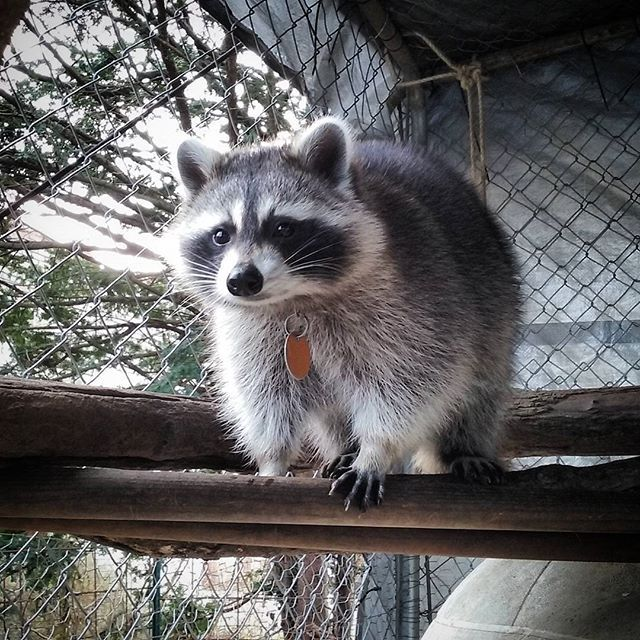 20 best Oreo Raccoon and friends images on Pinterest ... Raccoons As Pets