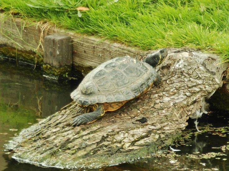 Schildpad aan de rand van Zevenkamp