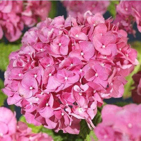 Rosa Hortensia. Planteras i kruka som ställs i halvskugga. Lyser upp fint!