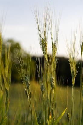 Anson Mills - Handmade mill goods from organic heirloom grains. Columbia, SC