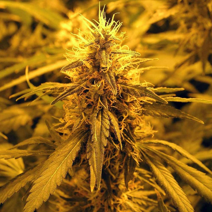 95 Best Nice Buds Images On Pinterest Marijuana Plants