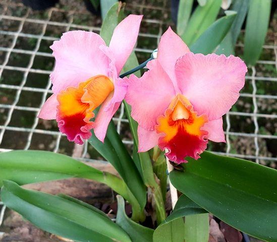Blc. Marys Song Madame Butterfly x  Blc. Chunyeah #17. Orquidário Santa Bárbara