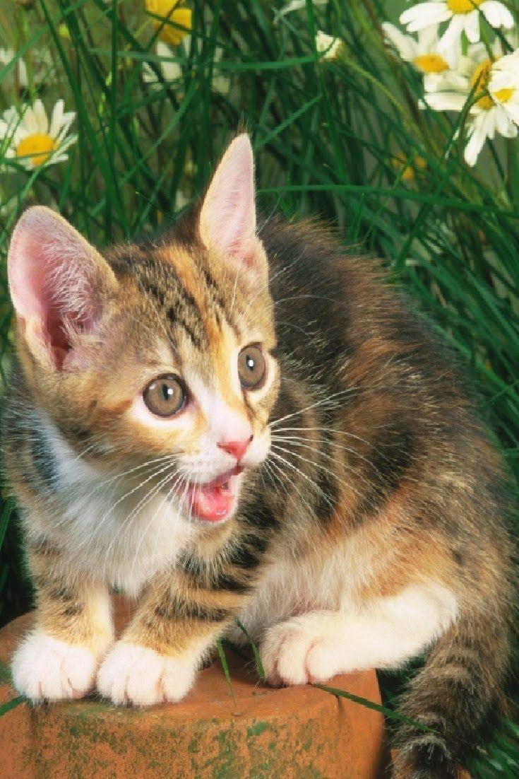 87 best CUTE KITTENS CAT VIDEO images on Pinterest