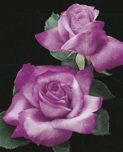 JP: Fragrant Plum (Ivory Tower) - Lavender Blushing Purple Grandiflora Roses